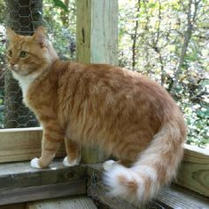 Juice—male tabby/domestic long hair in Buford, GA
