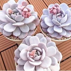 Crazy for succulents right now, these Echeveria lauii are simply beautiful!