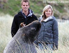 New Zealand Sea Lion, Dunedin, New Zealand New Zealand Holidays, New Zealand Houses, New Zealand Travel, South Island, Cousins, Travel Inspiration, Lion, Road Trip, Sea