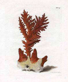 John Ellis - Coral Print 1776