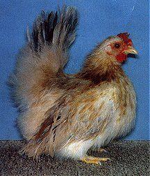 Chabo Bantam Chicken - Google Search