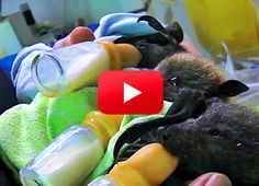 Baby Bats!  click to help save the rainforest