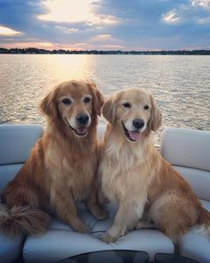 Golden Retrievers on their honeymoon
