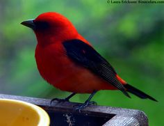 Scarlet Tanager Bird | Laura's Scarlet Tanager pictures