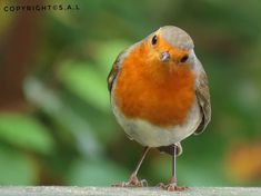 Robin Day, Robin Bird, European Robin, Robin Redbreast, Wrens, Watercolor Bird, Small Birds, Bird Watching, Bird Art