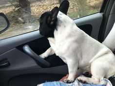 """"""", Cracker, the French Bulldog is not a fan of Road Trips Road Trips, French Bulldog, Fan, Dogs, Animals, Animales, Animaux, French Bulldog Shedding, Animal Memes"""