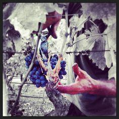 www.vinoway.com | Vendemmia 2013 annata a 5 stelle? | Promette vini leggeri e freschi, con capacità di diventare grandi nel tempo. La vendemmia 2013 è cominciata con 15 giorni di ritardo rispetto al 2012. - See more at: http://www.vinoway.com/approfondimenti/vino/viticoltura/item/2375-vendemmia-2013-annata-a-5-stelle?.html#sthash.AXXpWzur.dpuf | #vedemmia2013 #vinoway #acinus | photo by @Stefano Garofano