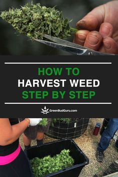The culmination of all your hard work… it's time to harvest! Now, as you may know, harvesting weed isn't quite like harvesting a tomato. Growing Weed, Growing Greens, Growing Herbs, Weed Facts, Cannabis Cultivation, Cannabis Plant, Hydroponic Grow Systems, Gardens, Medical Marijuana