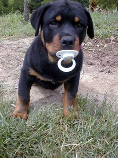 Rottweiler............This is how a Rottie sees themselves even at 10 !
