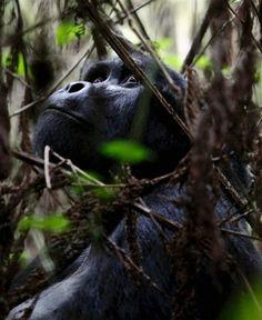Gorila de montaña Esta especie habita en la región congoleña de Virunga, y solo cuenta con 720 ejemplares, que viven en peligro a causa de los conflictos políticos y la caza.