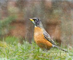 Title  American Robin   Artist  Angie Vogel   Medium  Photograph
