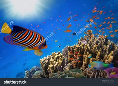 Coral Reef And Tropical Fish In Sunlight. Red Sea, Egypt Стоковые фотографии…