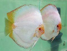 www.discusfishing.com #TropicalFishFreshwater
