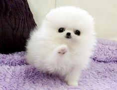 11 Best Pomeranian Puppies For