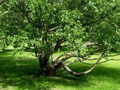 Visakoivu - Betula pendula var. carelica