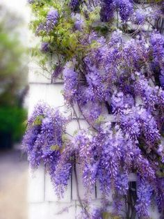 Wisteria. Flowers Garden Love http://rebelmouse.com/bestrchelicopters