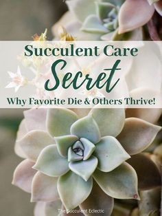 Ever wonder why your favorite succulents struggle, even though others thrive? Learn the secret to succulent care that keeps all your succulents fat and happy!   #succulentcare #succulenttips #succulentsecret #succulents Rare Succulents, Planting Succulents, Succulent Soil, String Of Pearls, How To Grow Taller, What Is Need, Photosynthesis, Echeveria, Indoor Plants