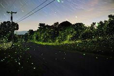 Tous les ans le photographe new-yorkais Pete Mauney attends les trois semaines de la saison des lucioles et en profite pour faire cette série intitulée «Grave of the Fireflies» dans une ambiance lugubre de conte de fées.
