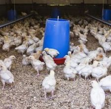 People raise Cornish cross chickens or broilers for meat. They're fast-growing birds which mature to eating weight by 8 to 12 weeks. Hatcheries develop Cornish cross hybrids from white Cornish chickens and white Plymouth rock birds. Types Of Chickens, Keeping Chickens, Raising Chickens, Plymouth Rock Chicken, Broiler Chicken, Chicken Waterer, Chicken Feed, Chicken Lady, Animales