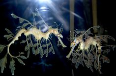 seahorses   seahorses