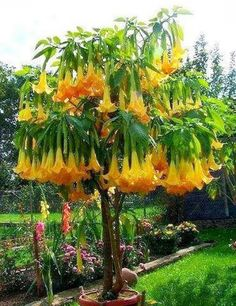 Angels Trumpet Tree