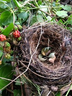 Robin's nest in the hedgerow Love Birds, Beautiful Birds, Nester, Bird Cages, Bird Nests, Mourning Dove, Hedges, Bird Feathers, Bird Houses