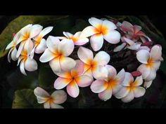 A Flor Pluméria                                                                                                                                                                                 Mais