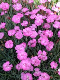 Product Viewer - Dianthus Tiny Rubies 2""