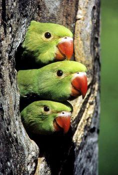 Hellooo there! ~~Rose-ringed Parakeet Nestlings by Pradeep Kumar~~ :)