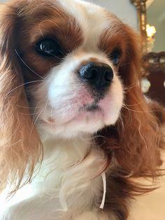 King Charles Puppy, Cavalier King Charles Dog, King Charles Spaniel, Spaniel Puppies, Cocker Spaniel, Beautiful Dogs, Animals Beautiful, Happy Animals, Cute Animals