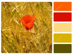 "Képtalálat a következőre: ""piros színpaletta"" Red Colour Palette, Red Color, Colour Palettes, Red Poppies, Color Schemes, Swatch, Photo Editing, Royalty Free Stock Photos, Poppy"