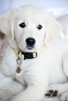 Beautiful Dogs, Animals Beautiful, White Golden Retriever Puppy, Golden Puppy, White Golden Retrievers, English Golden Retrievers, Cute Puppies, Dogs And Puppies, Corgi Puppies