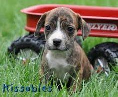 Frengle puppy