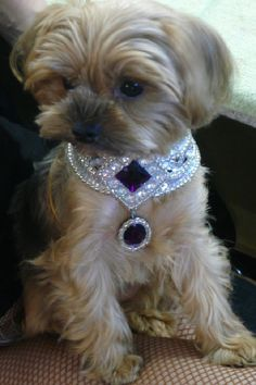 Finally, a collar worthy of a Shih Tzu! (but this looks like a Yorkie) Cute Puppies, Cute Dogs, Dogs And Puppies, Yorkies, Yorkie Dogs, Yorshire Terrier, Dog Accessories, Dog Life, Yorkshire