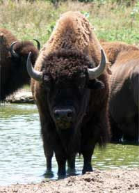All about the Buffalo