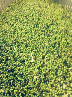 our olives. very few this year!