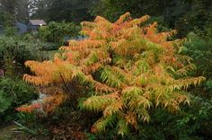 Rhus typhina 'Bailtiger' (Tiger Eyes Sumac) ... neon green all spring and summer followed by an amazing orange and red display in fall. low for a sumac. great architecture. looks tropical. recommendation: contain it... it travels.