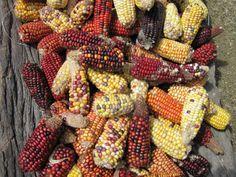 ¡A consumir maíz nativo! por sus propiedades anticancerígenas