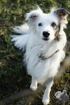 A list of the cutest white border collie pictures. Are you in the mood to see some adorable photos of border collies? This is a list of some of the cutest white border collie photos. Funny Animal Photos, Cute Dog Pictures, Funny Animals, Cute Animals, Happy Animals, Beautiful Dogs, Animals Beautiful, Cute Puppies, Cute Dogs