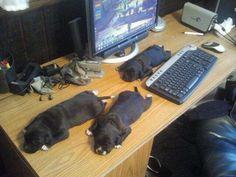 Resting; Looks like pug row?