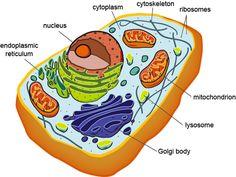 Eukaryotic Cell Structure - Shmoop Biology