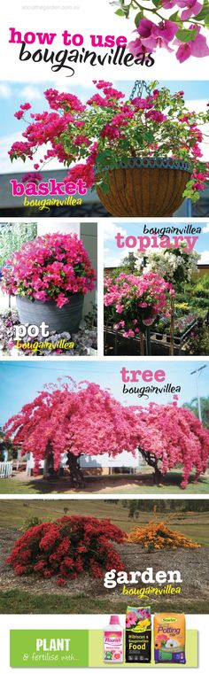 Best uses and how to grow bougainvilleas in Australia.indd