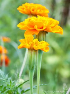 marigolds - grow in between vegetables to ward off pests. Flowers are edible too I think