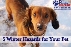 5 Winter Hazards For Your Pet: Antifreeze, Ice Melts, Frost-Bite, Hypothermia, Rat Poison, Stray Cats, Cars  #cat #dog #winter #holidays  http://www.petpoisonhelpline.com/uncategorized/winter-hazards-pet/