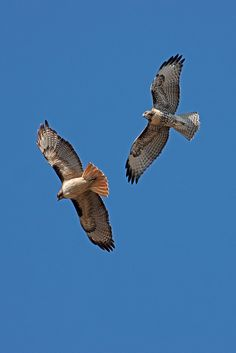 Red-tailed Hawk pair on the hunt..yet dive bombed by a few crows