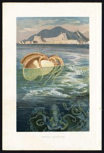 Antique Print-NAUTILUS-NAUTILIDAE-Brehm-1890   I've been in love with this lithograph for years.. seen it for sale for 25, seen it for 85..