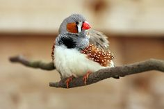 Why Zebra Finches Make Great Pets for Beginners