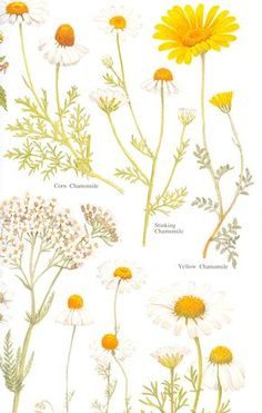 Litha - Summer Solstice - Purify - Different types of chamomile.skincare cleansers -- Click VISIT link above for more infoDifferent types of chamomile - did you know that both Roman and German chamomile…Chamomile – Uses in Natural Beauty & Skinca Botanical Flowers, Botanical Prints, Illustration Blume, Arte Floral, Medicinal Plants, Botany, Mother Nature, Planting Flowers, Herbalism