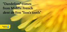 """What is the origin of the word """"dandelion""""? #French #etymology"""