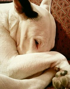 Poteau. English Bull Terrier.  Bullies love to tuck there noses in... so cute.